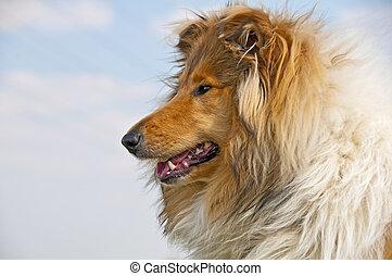 collie head -  collie dog