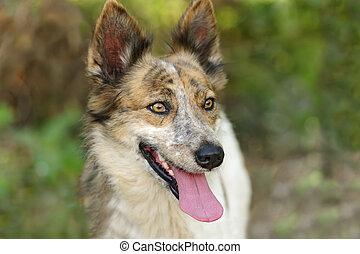 collie hond, buitenshuis