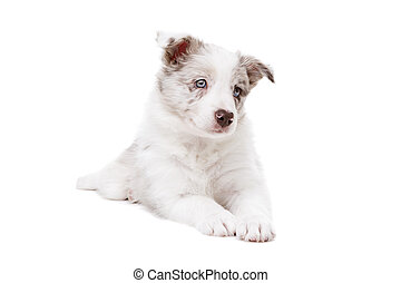 Collie, hund, hintergrund,  Front, weißes, junger Hund, umrandungen