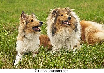 collie, hunden
