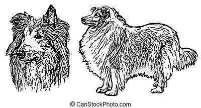 collie illustration on white