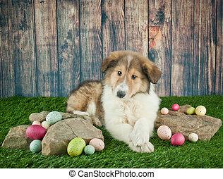 Collie, junger Hund, Ostern