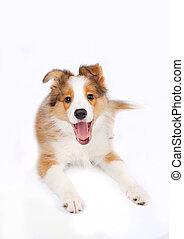 Collie, junger Hund, umrandungen