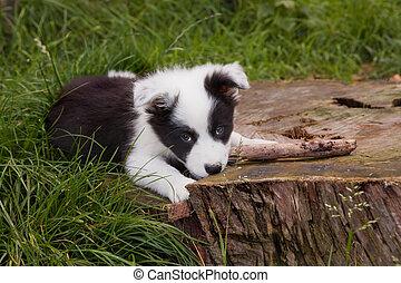 collie, junger hund, umrandungen, hund