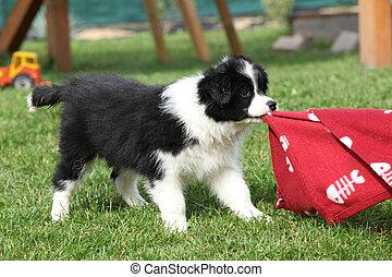 Collie, junger Hund, umrandungen, spielende, prächtig
