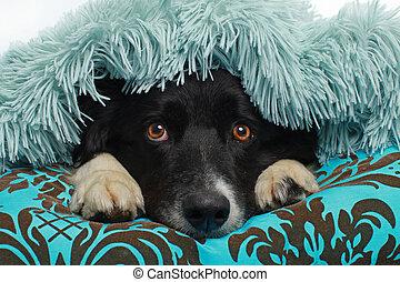 collie, macio, cobertor, cão, coberto, borda