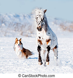 collie, pony, appaloosa, galopp, läufe, sable, umrandungen, winter