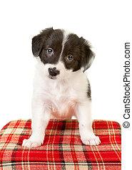 Collie puppy eyes