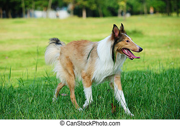 Collie rough dog running on the lawn