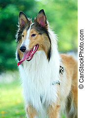Collie rough dog standing on the lawn