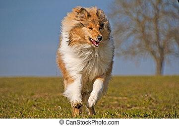 Collie - collie running