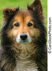 Collie looking directy into the camera\\\\\\\'s lens