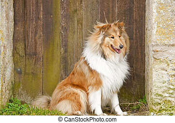 collie total engl -  collie dog