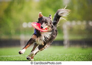 collie, trae, perro del vuelo, disco, frontera