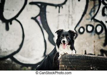 Collie, umrandungen, hund