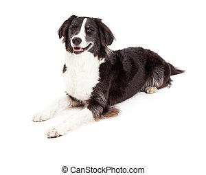 collie, umrandungen, lächeln, liegende , hund