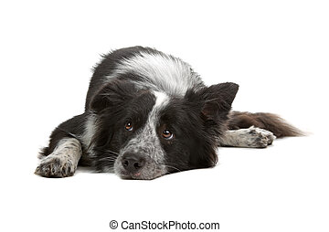 collie, umrandungen, schäferhund