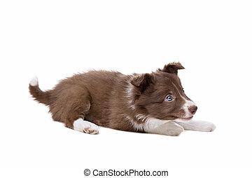 collie van de grens, puppy, dog, voor, een, witte achtergrond