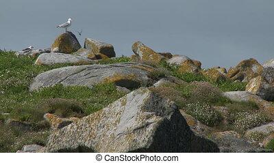 colline, mouettes, herbeux, rochers, deux