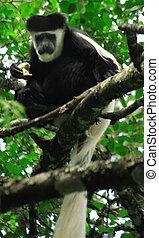 Colobus monkey in the tree