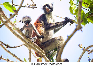 Colobus monkey with baby