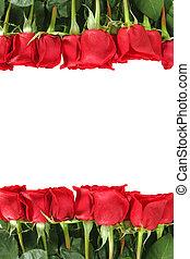 colocação, rosas, fila, vertical