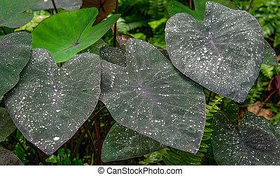 Colocasia esculenta leaves