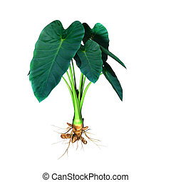Colocasia is a genus of flowering plants in the family Araceae, native to southeastern Asia and the Indian Subcontinent.