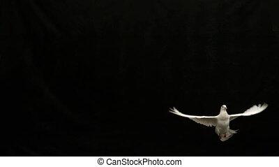 colomba bianca, di, pace, volare