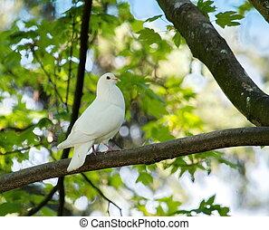colombe, arbre