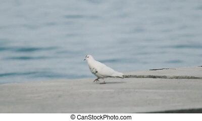 colombe blanc, mer