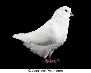 colombe, blanc, noir, isolé
