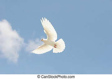 colombe blanc, vol