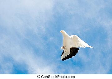 colombe, ciel