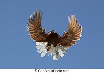 colombe, dans air
