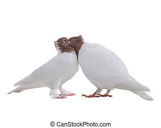 colombes, blanc, deux, baiser, isolé