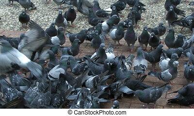 colombes, pigeon, animal, oiseau