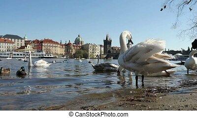 colombes, troupeau, mouvement, lent, voler plus, cygnes, rivière, canards, vltava