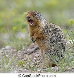 colombiano, scoiattolo macinato, callling, in, banff parco nazionale