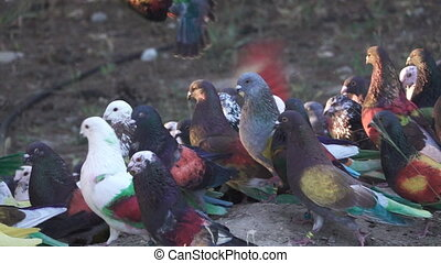 Colombine pigeons on the ground in slow-motion - Super slow...