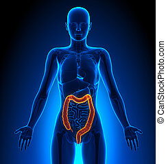 Colon - Female Organs - Human Anatomy