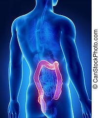Colon male anatomy posterior x-ray view