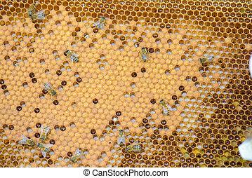 colonia, di, api
