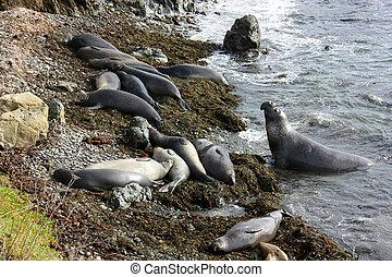 colonia, di, elefante sigilla, su, spiaggia, california