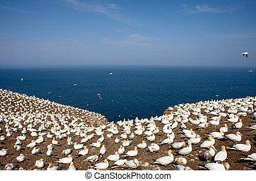 colonia, di, settentrionale, gannets