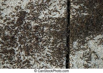 colonia formica