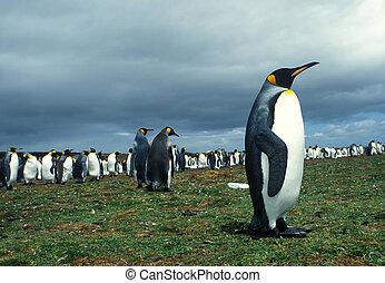 colonia, pinguini re, in, isole falkland