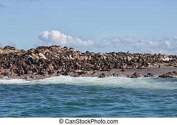 Colonie of Cape Fur Seals (Arctocephalus pusillus)
