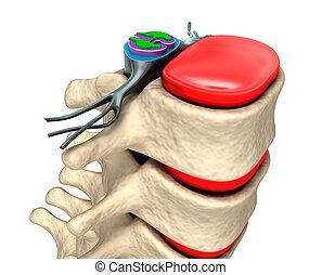 colonne vertébrale, à, nerfs, et, disques