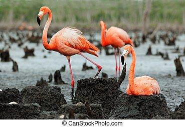 colony., フラミンゴ, ruber), (phoenicopterus